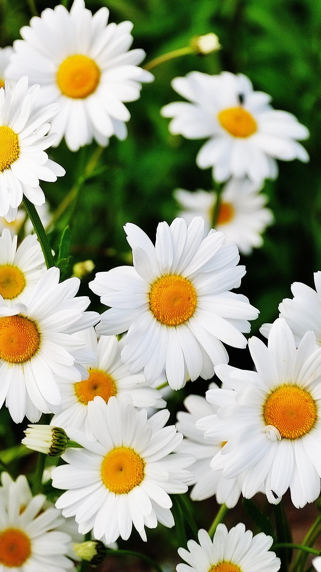 cúc daisy