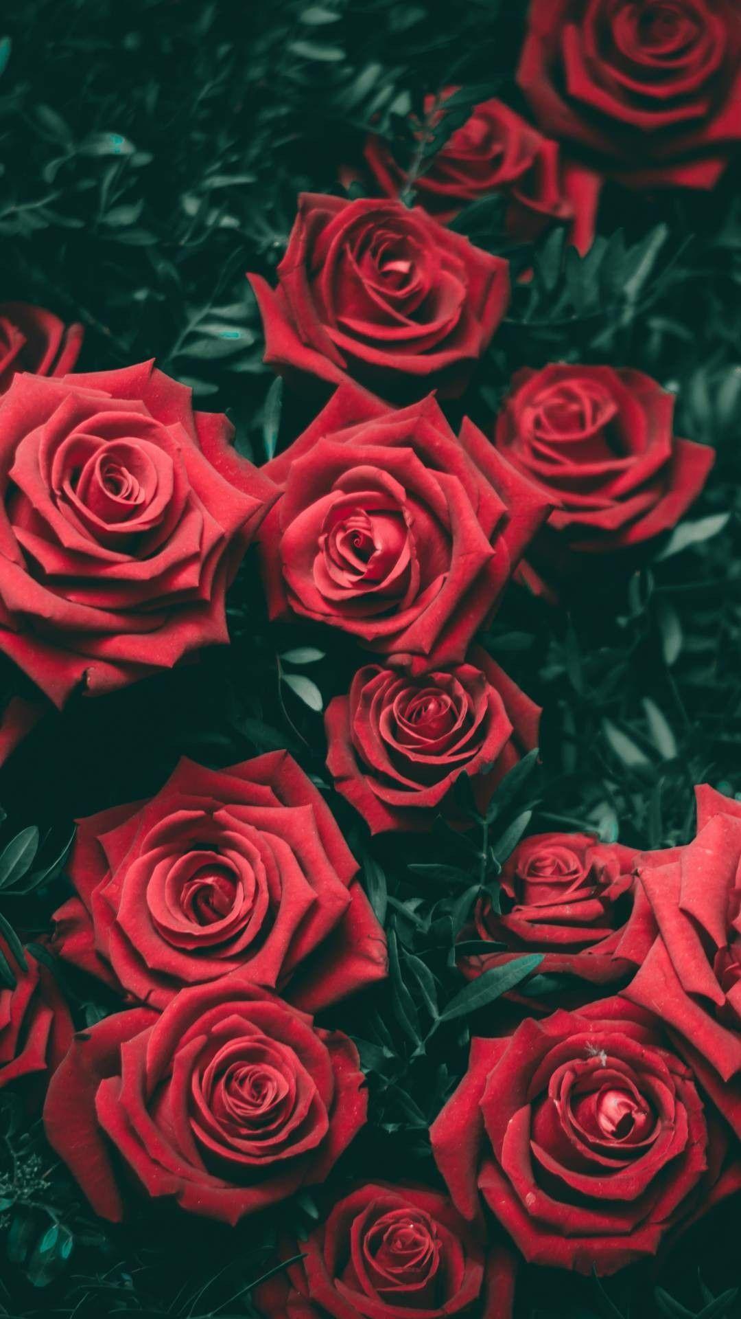 hoa hồng tuyệt đẹp